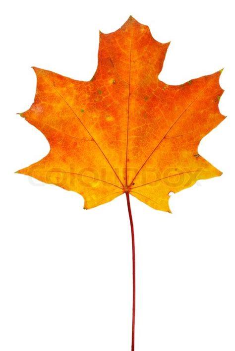 orange red maple leaf isolated on the white background stock photo colourbox
