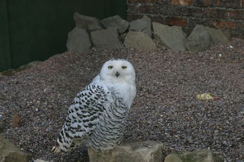 snowy owls scotowlblog