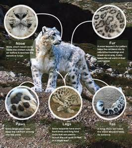 Physical Characteristics Of A Jaguar Best 25 Snow Leopard Facts Ideas On Facts