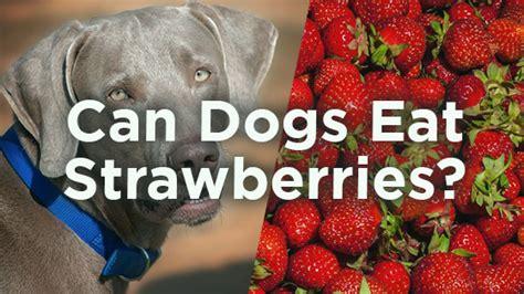 dogs eat strawberries can dogs eat strawberries pet consider