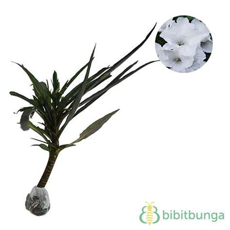 Tanaman Hias Ruellia tanaman white ruellia bibitbunga
