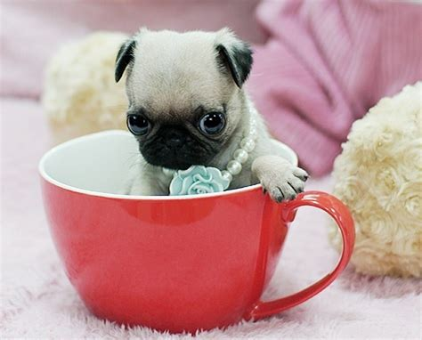 pugs for sale st louis 17 best images about pugs and kisses on pug pug and pug