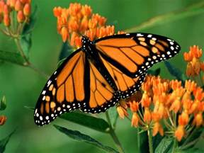 monarch butterfly beautiful butterflies butterflies wallpaper 9481947