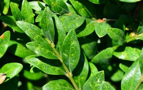 Schädlinge Buchsbaum by Mit Diesen Tipps K 246 Nnen Sie Fr 252 H Die Buchsbaum Krankheiten