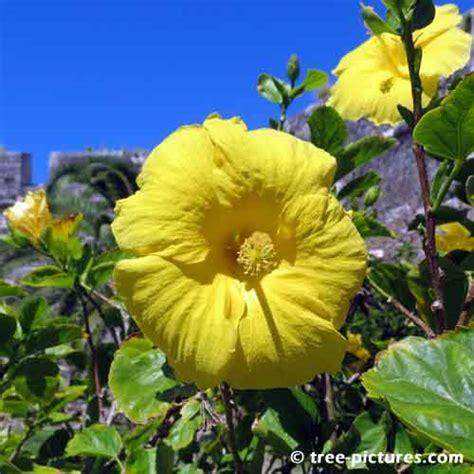 fiori simili ai rododendri 8 impressionante bermuda hibiscus immagini