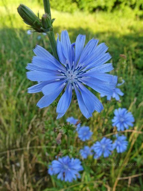 fiori azzurri nomi in nome dei fiori cicoria comune luminosi fiori azzurri