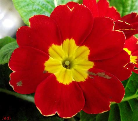 primrose flower symbolism in literature flower inspiration