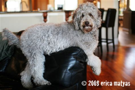 Labradoodle Shed by Labradoodle Shedding Do Labradoodles Shed