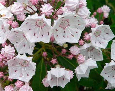 official state flowers pennsylvania state flower mountain laurel
