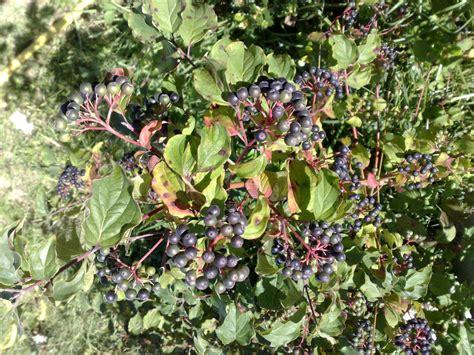 Arbuste Baies Noires by Identification Arbuste 224 Baies Noires Au Jardin Forum