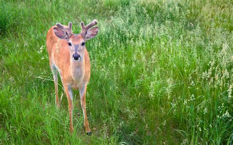 Do Whitetail Deer Shed Their Antlers by Why Do Deer Shed Their Antlers Grand View Outdoors