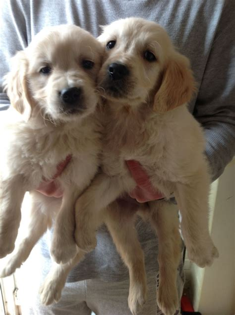 golden retriever x golden retriever x labrador puppies basingstoke hshire pets4homes