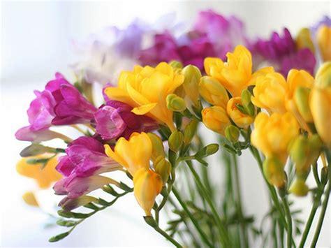 Indoor Flowering Plants by Plants Amp Flowers 187 Freesia Refracta