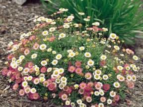 Best Perennial Flowers Seaside Daisy Fleabane Erigeron Erigeron Karvinskianus