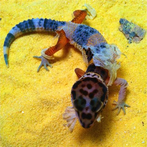 Baby Leopard Gecko Shedding by 17 Best Images About Gecko Quot S On Snow Snow