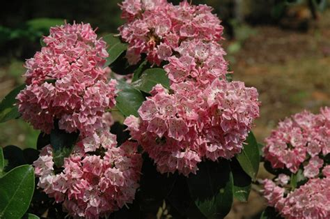 deer resistant flowering shrubs 88 best images about deer resistant landscaping on