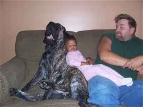 mastiff puppies for sale in indiana mastiff puppies in indiana