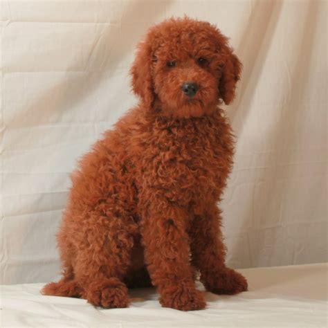 moyen poodle lifespan hairstyle 2013