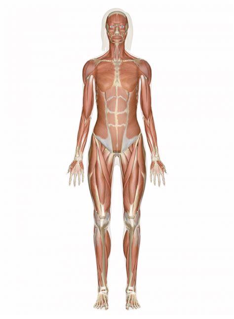 perfect female body diagram human perfect free engine