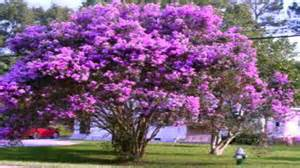 purple crepe myrtle trees for sale 2 75 at tn online plant nursery youtube