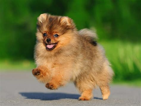 pomeranian span the breeds that live the business insider