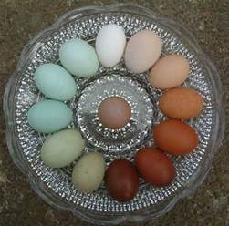 chicken egg colors easter egger club page 20