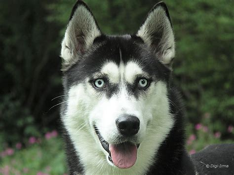 siberian husky husky siberian huskies photo 4827225 fanpop