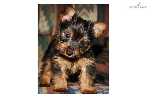 tiny teacup yorkies for sale in uk tiny teacup yorkie puppies meet romeo a terrier yorkie puppy for