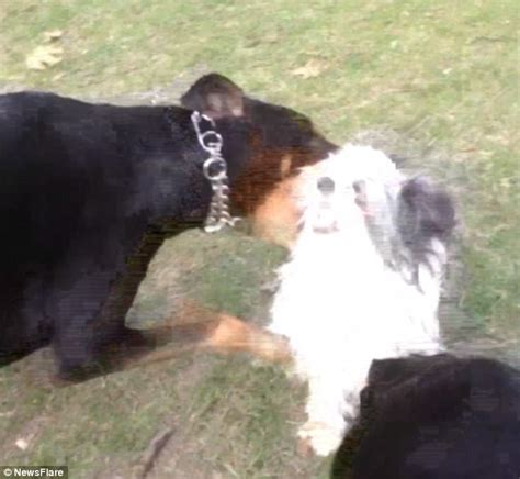 puppy yelping pet owner captures moment his is attacked by two dogs in canadian park daily