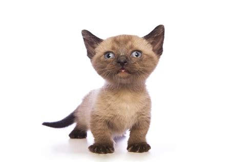 what is the smallest breed worlds smallest cat breed www pixshark images galleries with a bite