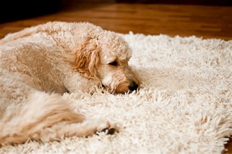 best rugs for pets 12 wool rugs buy the best rug you like