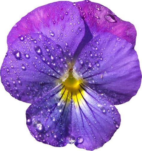 violets with dew on pics violet flower with dew png clipart blumen pinterest