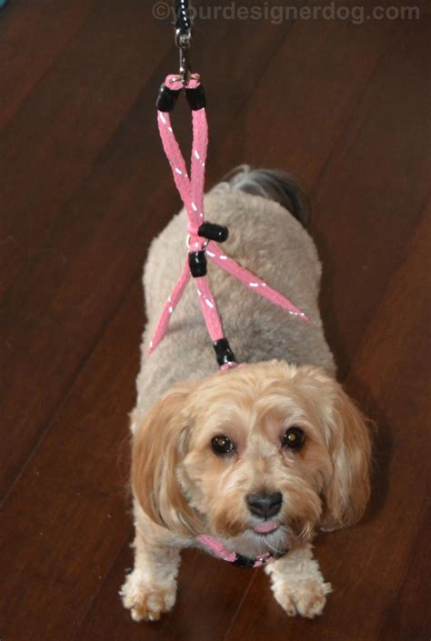 how to put a harness on a yorkie put an end to pulling with xtreme pet products no pull harness yourdesignerdog
