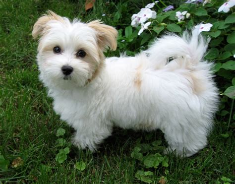 havanese clipped 17 best images about havanese i will another on puppys bar and search