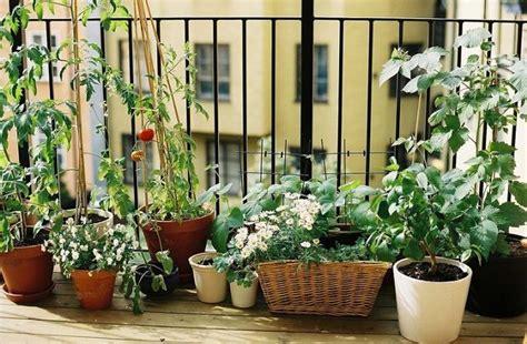 come coltivare il rosmarino in vaso come coltivare il rosmarino sul balcone di casa