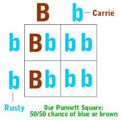 eye color punnett square punnett squares the eye color edition