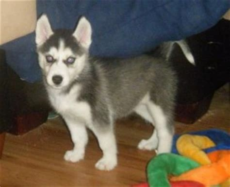 husky puppies vt dogs vermont free classified ads