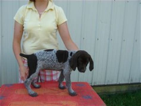 german shorthaired pointer puppies for sale in nc german shorthaired pointer puppies in ohio