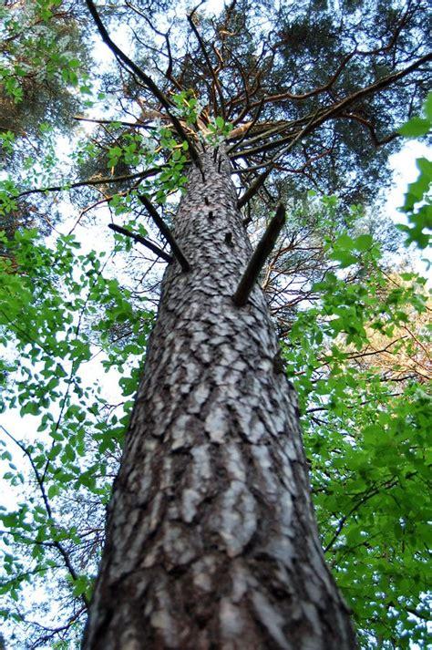 identify  missouri state champion tree   pt  complete tree service