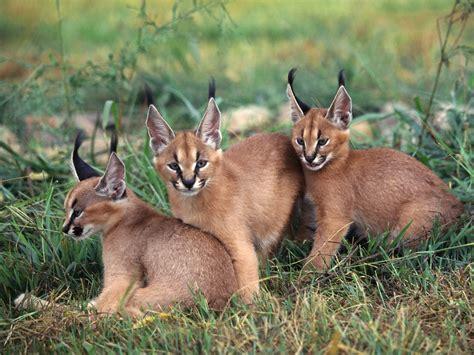 imagenes animal x caracal animal wildlife