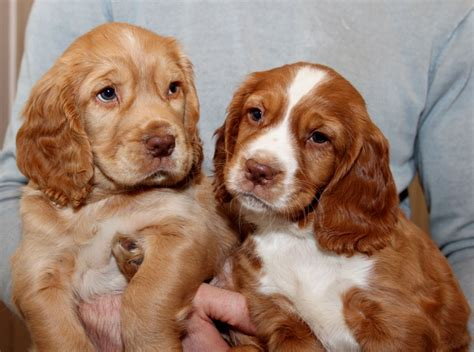 cocker spaniel breeders kc working cocker spaniel puppies for sale worcester worcestershire pets4homes