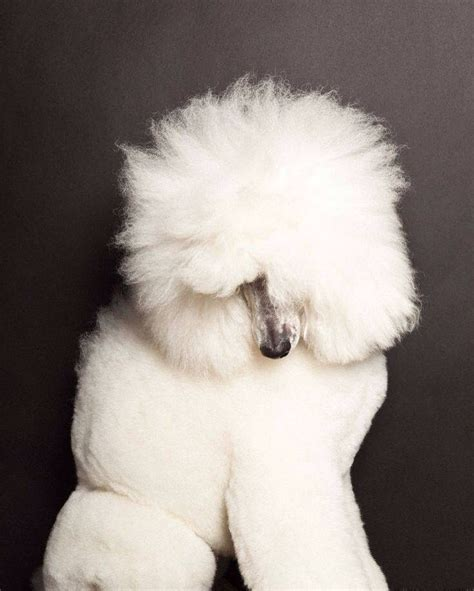 poodle lifespan poodle 776 best happiness is your with a poodle