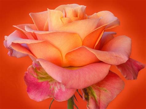 themes beautiful rose 20 beautiful rose theme valentine wallpapers web cool tips