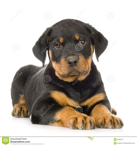 rottweiler images free rottweiler royalty free stock images image 2765279