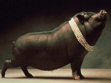 porch at fotos de porco porquinho e animais cultura mix
