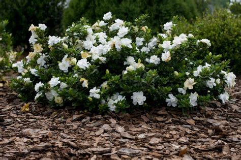Gardenia Shrub Garden Plants By Gardenias A Magnificent Garden Look Is
