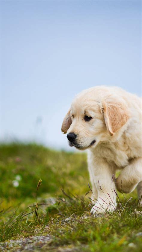 wallpaper labrador retriever puppy dog hd  animals