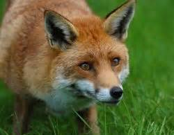 How To Get Rid Of Foxes In Backyard by Humane Fox Trapping Fox Trapper Getting Rid Of Foxes
