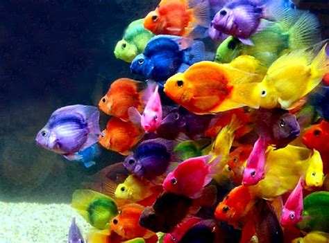 colorful fish top 50 beautiful fish facts photos colorful wallpapers