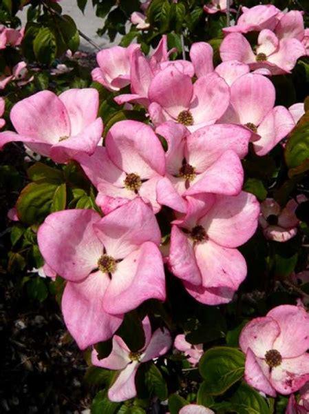 Cornus Kousa Satomi Pflege 5148 by Cornus Kousa Satomi 174 Japanischer Blumen Hartriegel